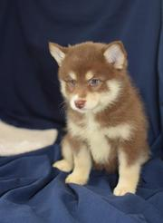 IU73 checked friendly,  and sociable Pomsky For Sale 07031957695