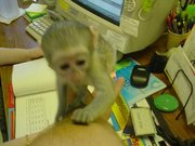 R74E Adorable Twin Pygmy Marmoset and Capuchin 07031957695