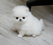 HFDH  friendly,  and sociable Pomeranian For Sale CALL 07031957695