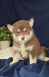 ER45 checked friendly,  and sociable Pomsky For Sale 07031957695