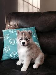 HT843 checked friendly,  and sociable Pomsky For Sale 07031957695