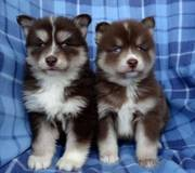 DT454 checked friendly,  and sociable Pomsky For Sale 07031957695
