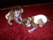 G5FG NLEW Adorable Twin Pygmy Marmoset and Capuchin 07031957695