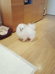 HDF friendly,  and sociable Pomeranian For Sale CALL 07031956739