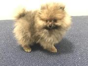 VBFG friendly,  and sociable Pomeranian For Sale CALL 07031956739