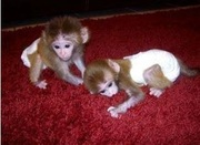 HDFX Adorable Twin Pygmy Marmoset and Capuchin 07031956739
