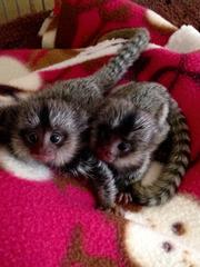 NDFSA Adorable Twin Pygmy Marmoset and Capuchin 07031956739