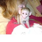 FNZJ V Adorable Twin Pygmy Marmoset and Capuchin 07031956739