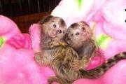 KRSHVAdorable Twin Pygmy Marmoset and Capuchin 07031956739