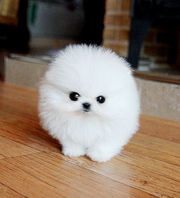 OIOIU friendly,  and charming sociable Pomeranian 07031956739