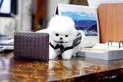 KFXD friendly,  and charming sociable Pomeranian 07031956739