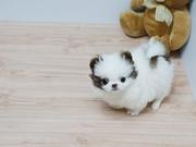 GKGKHK Temperament high quality  Pomeranian