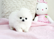 KNTIYIJYIJ  Charming Teacup Pomeranian