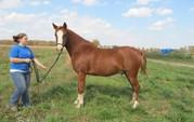 Quarter Horse Gelding