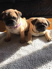Stunning Kc Registered Male Pug Puppy