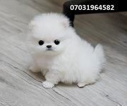 6 males and females Pom available 07031964582