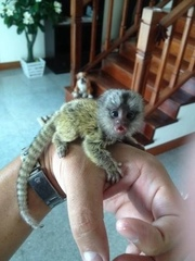 MV males and females Capuchin pygmy marmoset available 07031964582