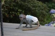 Y4Y Pairs Capuchin pygmy marmoset available 07031956739