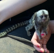 WUWQ Pairs Capuchin pygmy marmoset available 07031956739