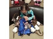 KEW Pairs Capuchin pygmy marmoset available 07031956739