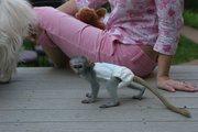 URRF Pairs Capuchin pygmy marmoset available 07031956739