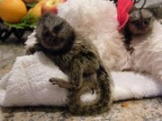 SUHD  Pairs Capuchin pygmy marmoset available 07031956739