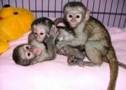 MIDH Pairs Capuchin pygmy marmoset available 07031956739