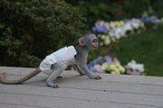 kk Pairs Capuchin pygmy marmoset available 07031956739