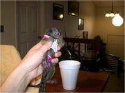 10 Pairs Capuchin pygmy marmoset available 07031956739