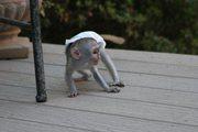 , K Pairs Capuchin pygmy marmoset available 07031956739