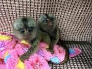E4D8 Pairs Capuchin pygmy marmoset available 07031956739