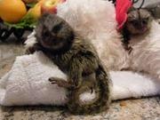 AKJS Pairs Capuchin pygmy marmoset available 07031956739