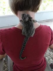 XEH Pairs Capuchin pygmy marmoset available 07031956739
