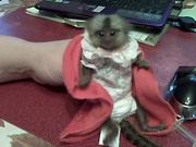 DGFJ Pairs Capuchin pygmy marmoset available 07031956739