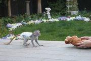 NDHR Pairs Capuchin pygmy marmoset available 07031956739