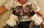 HDRE Pairs Capuchin pygmy marmoset available 07031956739