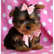 Two Cute teacup Yorkie Puppies for Adoption text 631-982-9126