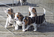 Nice Beagle Puppies for Sale