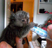 Twin Pygmy Marmosets Monkeys For RE-HOMING