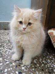 Persian Kitten for sale near me